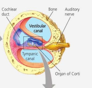 organ korti telinga