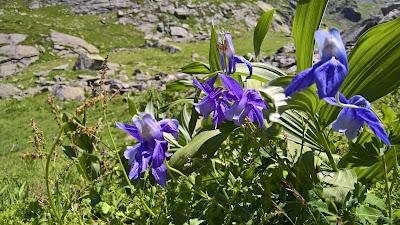 [Ranunculaceae] Aquilegia alpina