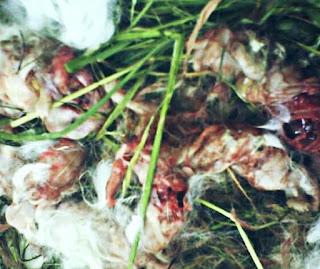 Penyebab Kelinci Kanibal