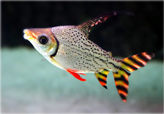 Ikan feifeng pemakan lumut terbaik