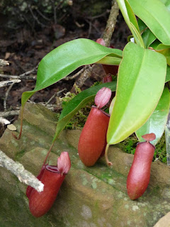 Plantes carnivores: Nepenthes hybride 'Bloody Mary'