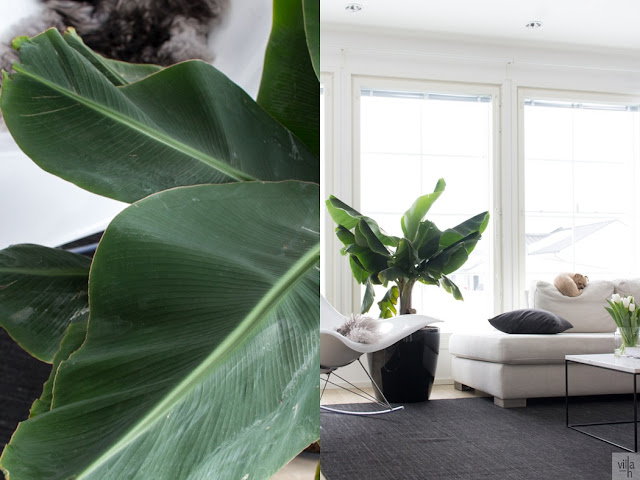interior, banaanipuu, sisustus, olohuone, chihuahua