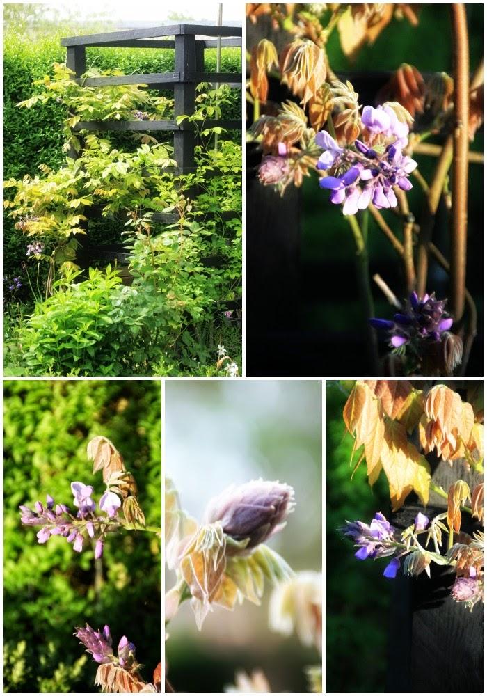 beskæring af sommerfuglebusk