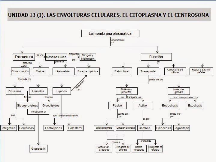 biologia2bachcamp: TEMA 9. 1º BACHILLERATO. LA CÉLULA, ORGÁNULOS CON ...