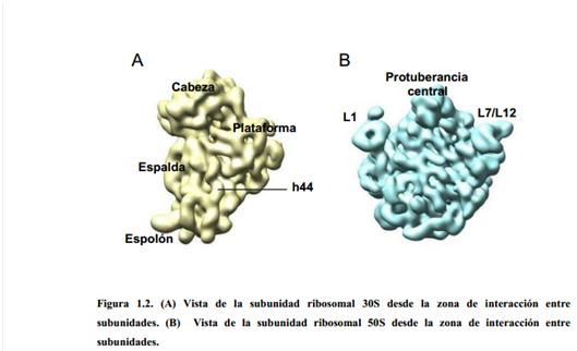 Biologia Molecular 7 2 2 Estructura Ribosomal
