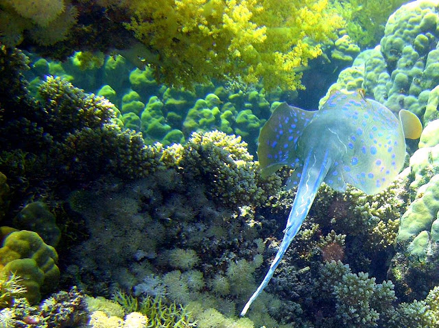 bluespotted stingray, red sea, egypt