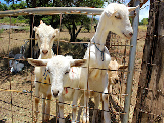 Goat farm luxury tour