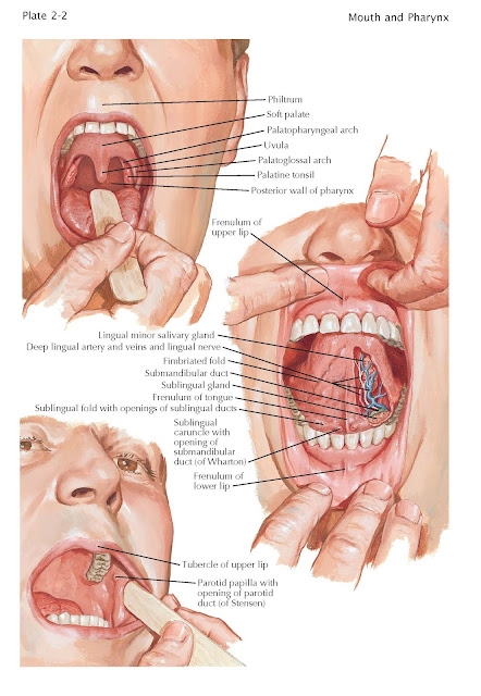 Oral Cavity, duct of the parotid gland,