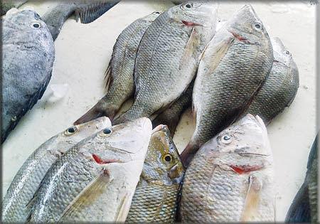 ان يكون سطح الاسماك براقة لامعة خالياً من المخاط البكتيري وان تكون الطبقة اللزجة عليها شفافة .