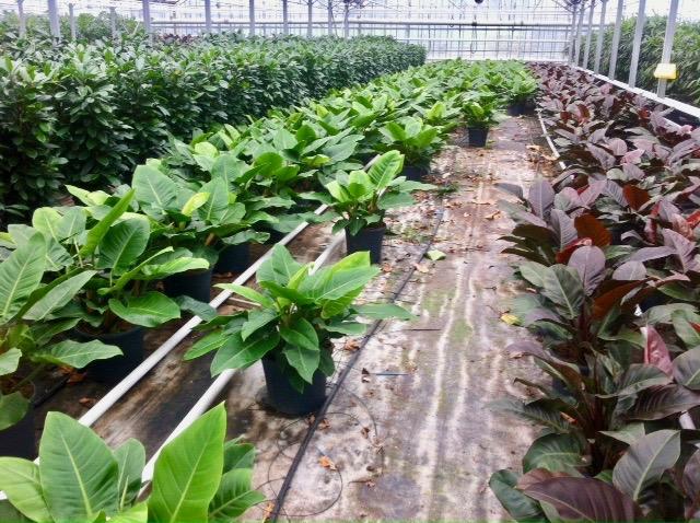 Planten uit de kwekerij luchtzuivering in de serre water en licht met potgrond en in pot met veel groen blad of dikke stam