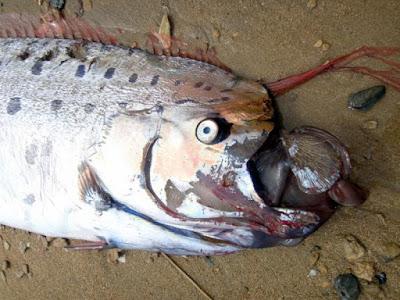 Μυστηριώδες γιγάντιο ψάρι ξεβράστηκε στις ακτές νησιού της Καλιφόρνια (Φωτογραφίες)