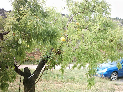 los olivares ,camino ,pantano de Pena, Beceite, Beseit