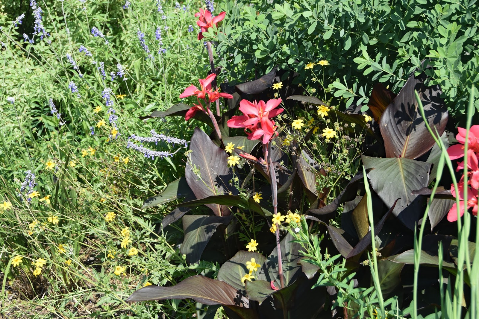 Canna Lilies At Plant Delights Nursery