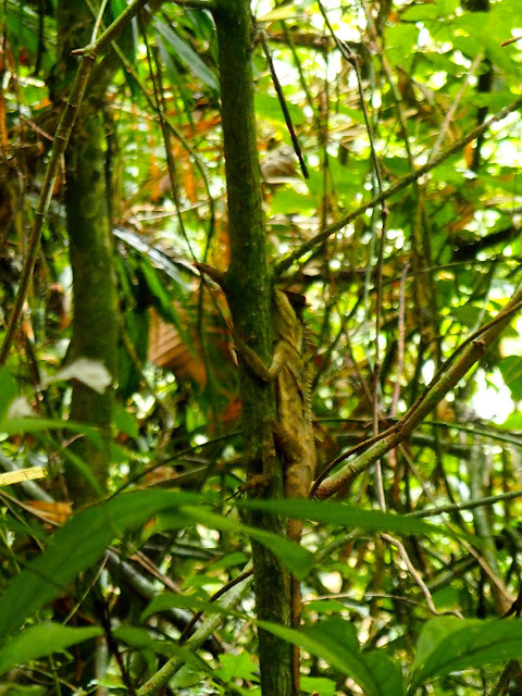 Lizard on jungle trek near Cheow Lan Lake, Khao Sok National Park, Thailand