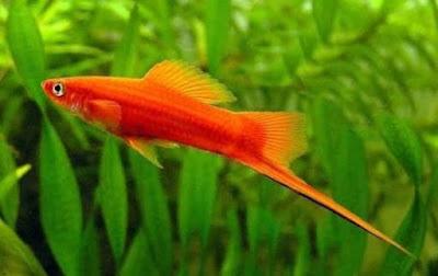 Harga Ikan Platy Paling Populer