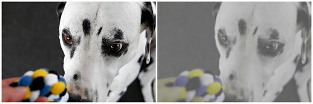 Side-by-side photos of a dog with a coloured tug toy showing the difference between how people and dogs see colour
