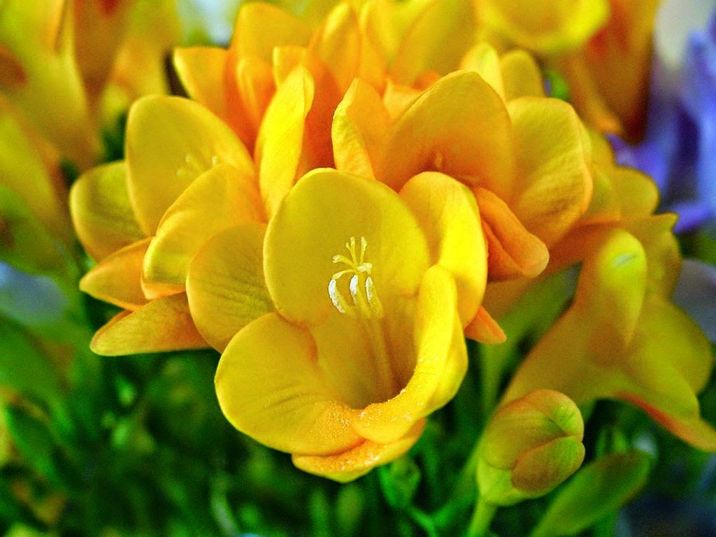 fresias-de-petalos-amarillos