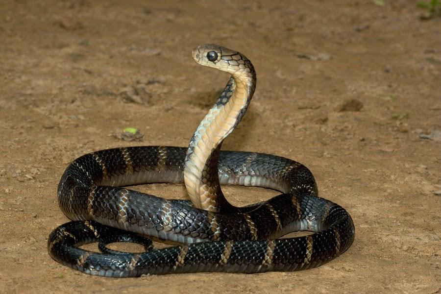 King Cobra Snake Photos: King Cobra Snake Latest Photos 2014