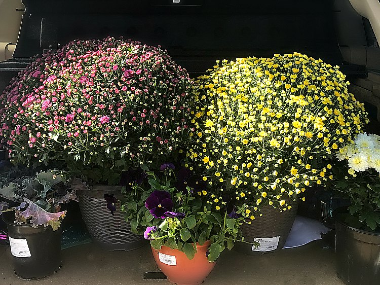 mums are perfect for a fall front porch