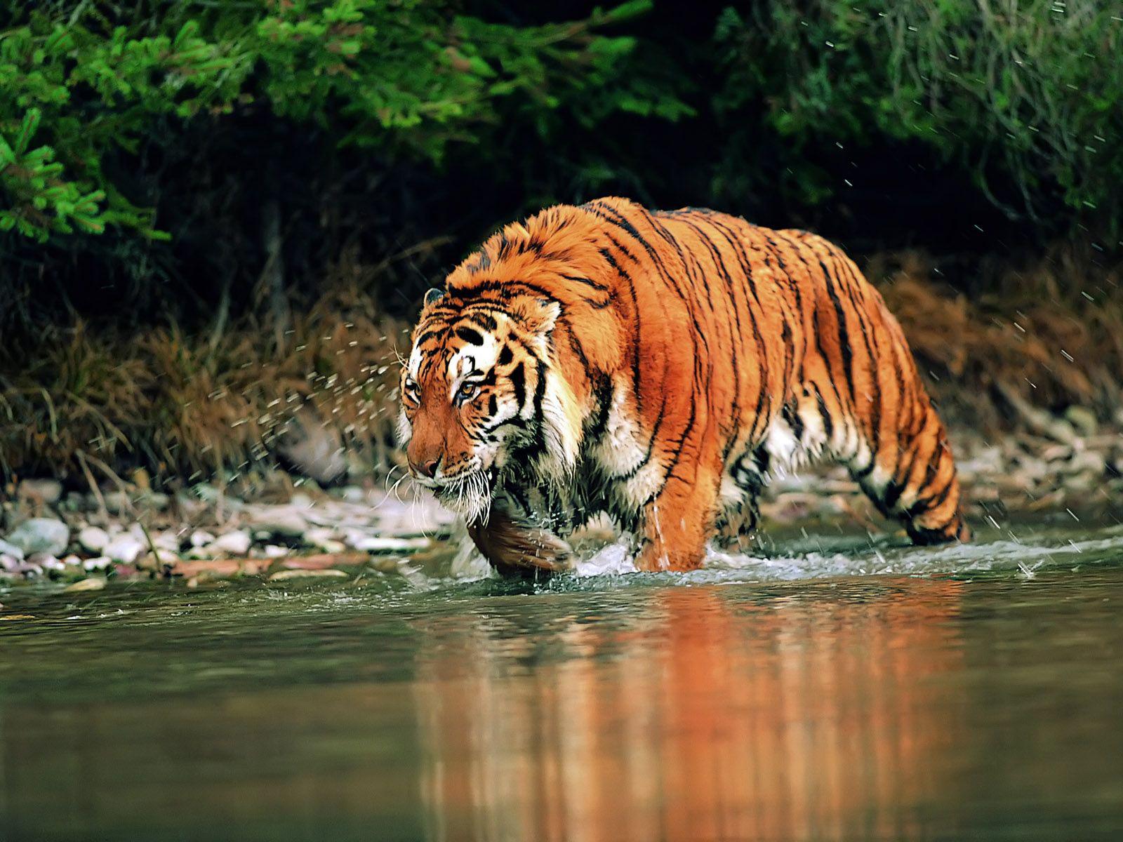 Wallpapers: Best Tiger Wallpapers