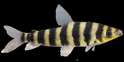 Piau Flamengo (Leporinus affinis)