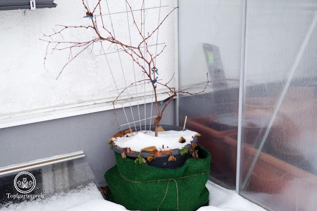 Pflanzen überwintern wie oft gießen - Gartenblog Topfgartenwelt