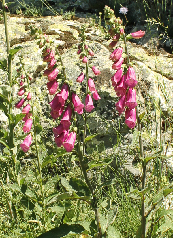 Digitalis silvestre