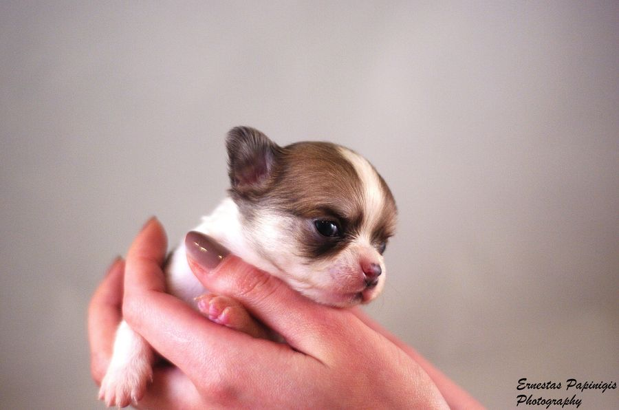 3. Chihuahua Puppy 2 by Ernestas Papinigis