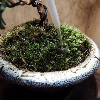 真柏の鉢の浸透ます 肥料やり