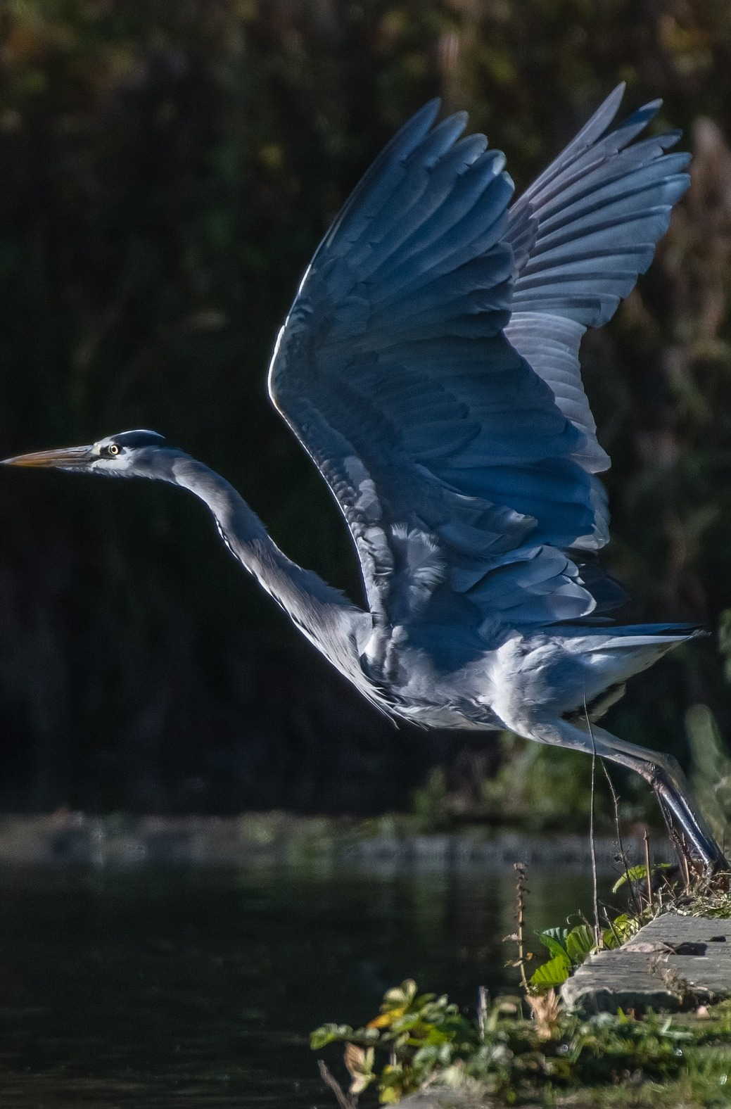 A blue heron lift off.