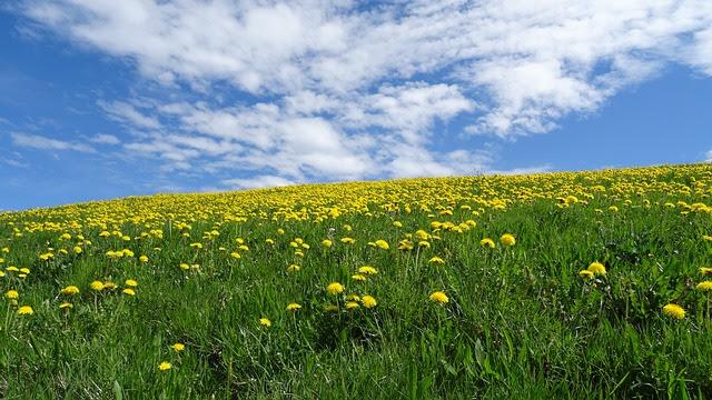 Pradera en primavera adornada con las flores amarillas del diente de león