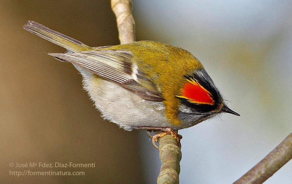 Firecrest european birds