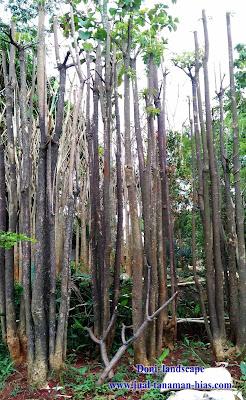 Jual Tanaman Pulai | Botani Alstonia Scholaris | Pohon Jelutung | Pohon Pule