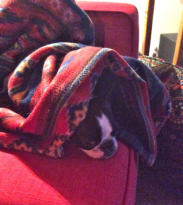 Sinead the Boston terrier sleeping under a blanket