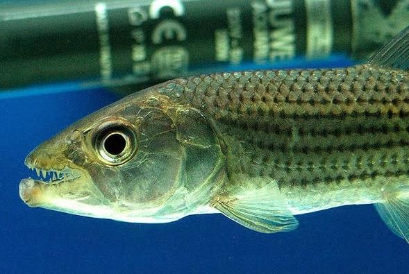 Tiger Fish Information Care Types And Breeding All Aquarium Info