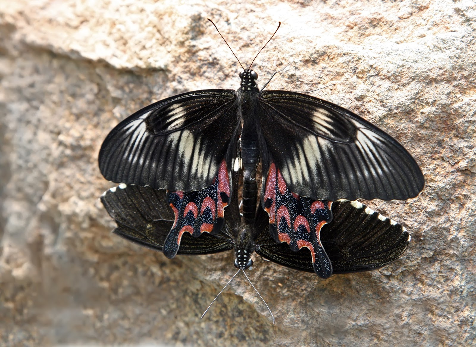 Insects: Papilio polytes Mating