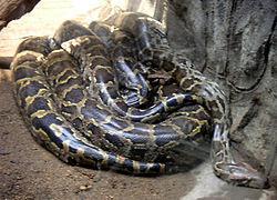 Python Burma (22 kaki)
