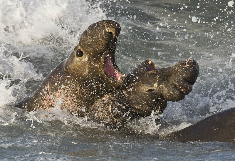 Mammals Animals: Elephant seals fighting