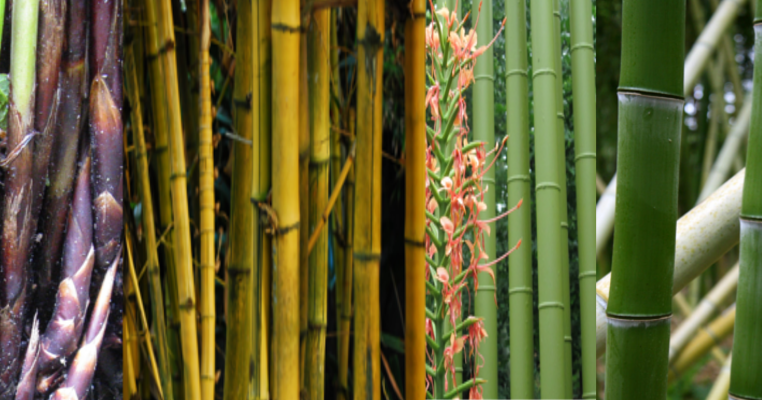 List Of Bamboo Species All About Bamboo