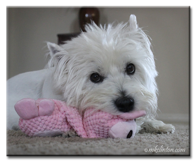 Westie with pink toy
