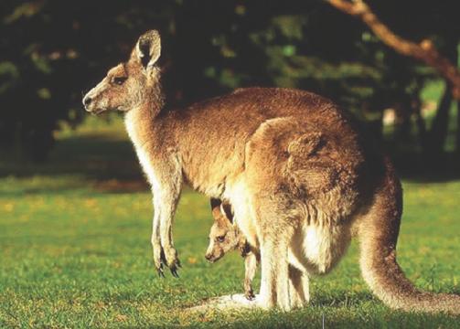 kangguru hewan khas australia