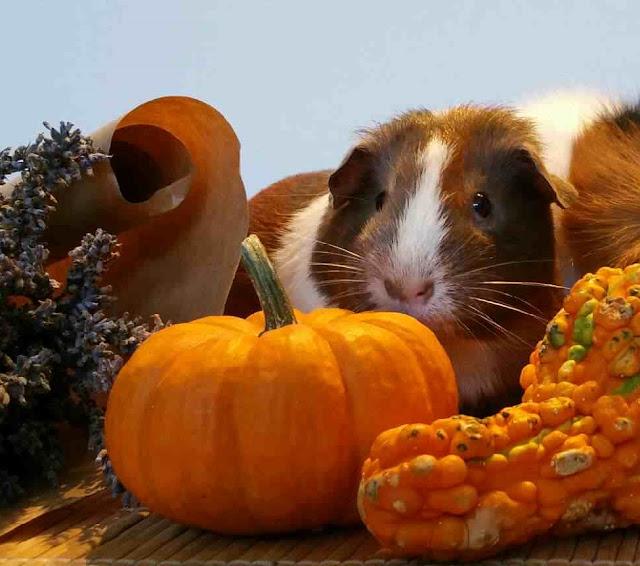 Meerschweinchen verstehen: Meerschweinchen Holly im Oktober 2016