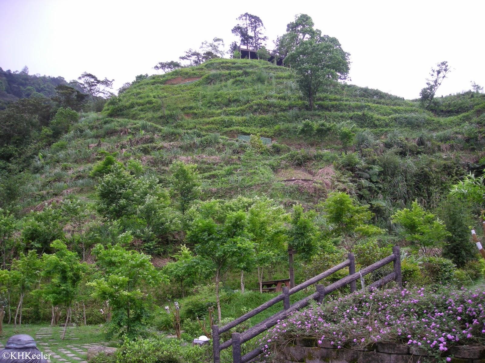 tea plantation, Taiwan