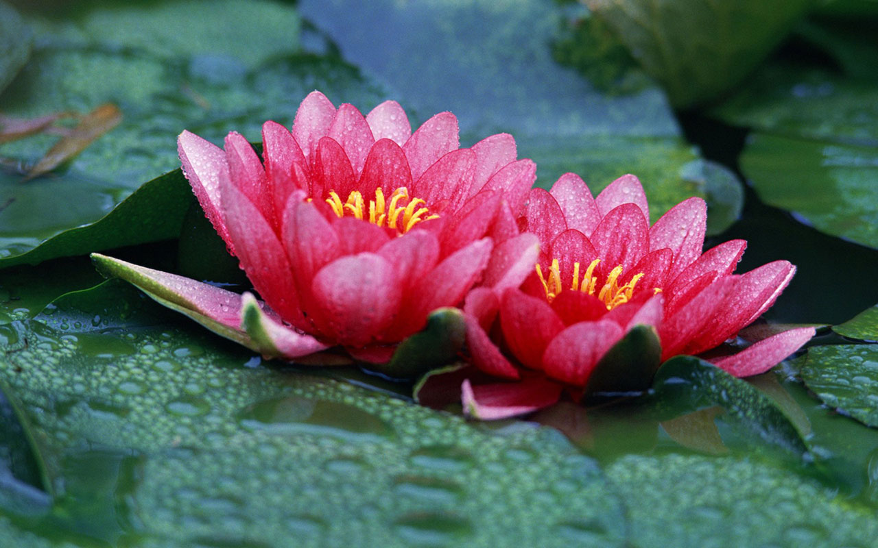 Lotus Flowers - Pictures & Meanings
