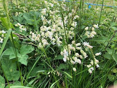 [Caryophyllaceae] Silene vulgaris – Bladder Campion (Silene rigonfia).