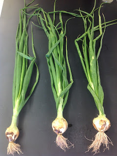 Onion plants with pink roots