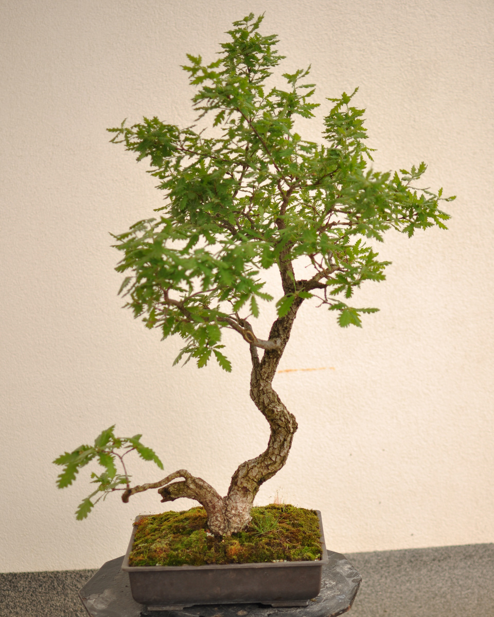 Maros Bonsai Blog May 2013 - Trasplantar Bonsai