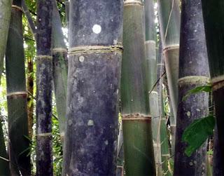 Bambu hitam bahan bilik bambu