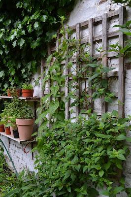 Hablizia tamnoides - Caucasian climbing spinach
