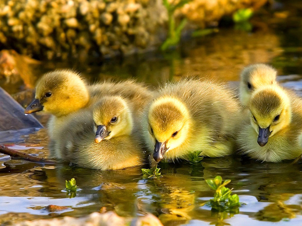 Yellow ducklings breed - photo#35